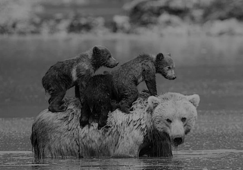 Mamãe Urso Deixa Filhotes Para Se Afogar Mas Os Filhotes São Milagrosamente Salvos